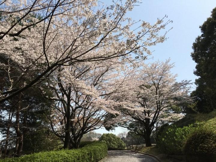 永源山公園の満開の桜