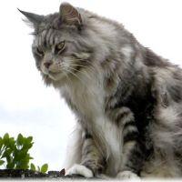 【超巨大猫】メインクーンの性格と子猫の値段を調べてみた