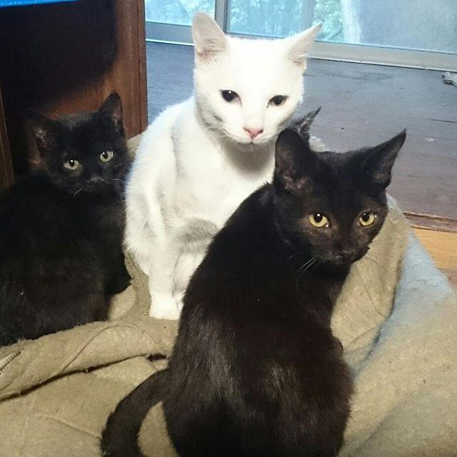 チームごま塩こどもバージョン。一人隠れてるよ! #こねこ部 #ねこ部 #ニャンスタグラム #にゃんすたぐらむ #ねこ #こねこ #にゃんこ #しまねこ #黒猫 #白猫 #サビ猫 #cat #kitty #catstagram #petstagram #instacat #meow #catoftheday #ilovemycat #catlove #catlover