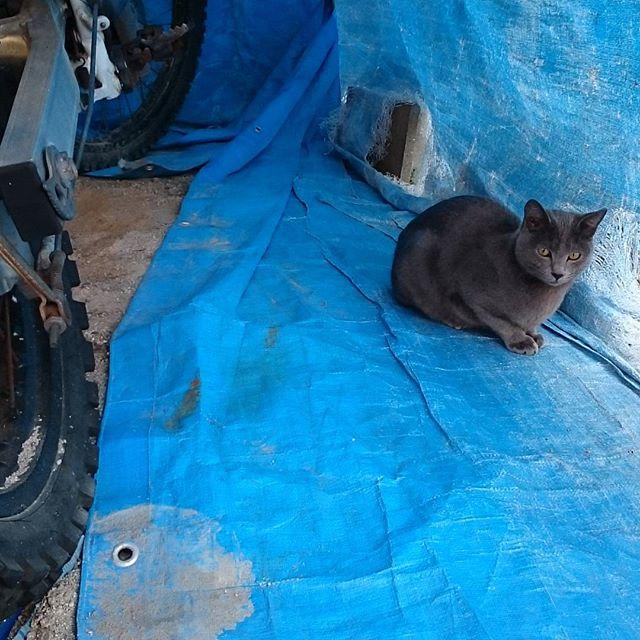 駐車場で待っててくれた。 #こねこ部 #ねこ部 #ニャンスタグラム #にゃんすたぐらむ #ねこ #こねこ #にゃんこ #しまねこ #cat #kitty #catstagram #petstagram #instacat #meow #catoftheday #ilovemycat #catlove #catlover