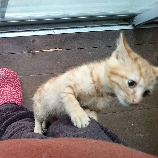 Jump茶子ちゃんは肩まで登ってくるよ。 #こねこ部 #ねこ部 #ニャンスタグラム #にゃんすたぐらむ #ねこ #こねこ #にゃんこ #しまねこ #茶トラ #cat #kitty #catstagram #petstagram #instacat #meow #catoftheday #ilovemycat #catlove #catlover