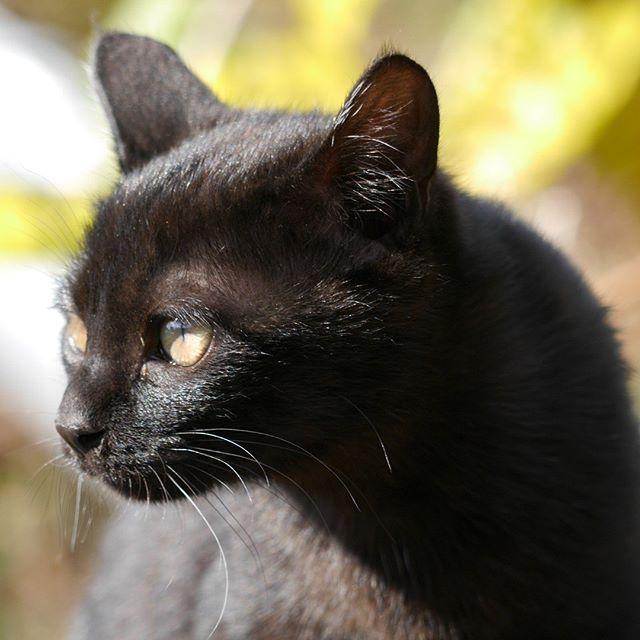 4か月の女子とは思えない!凛々しい「ち子」ちゃん。ひげが1本だけ長いの。 #こねこ部 #こねこ #kitty #ねこ部 #ニャンスタグラム #にゃんすたぐらむ #ねこ #ネコ #ネコ部  #ネコ好き  #ネコスタグラム  #ネコのいる生活 #にゃんこ #しまねこ #黒猫 #cat #catstagram #petstagram #instacat #meow #catoftheday #ilovemycat #catlove #catlover99999 #고양이 #고냥이 #냥이
