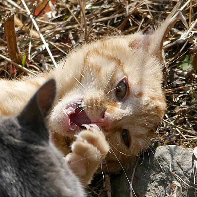 すごい形相の茶子ちゃん。オーリオに襲われてるの! #こねこ部 #こねこ #kitty #ねこ部 #ニャンスタグラム #にゃんすたぐらむ #ねこ #ネコ #ネコ部  #ネコ好き  #ネコスタグラム  #ネコのいる生活 #にゃんこ #しまねこ #茶トラ #cat #catstagram #petstagram #instacat #meow #catoftheday #ilovemycat #catlove #catlover99999 #고양이 #고냥이 #냥이