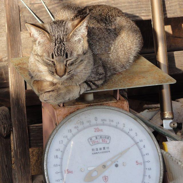 自分で体重測定するペペロンチーノ。ほんとはハカリの上で寝てるだけだけど・・・。ペペちゃんは風邪をこじらせて体重が1kg落ちちゃった。 #ねこ部 #ニャンスタグラム #にゃんすたぐらむ #ねこ #ネコ #ネコ部  #ネコ好き  #ネコスタグラム  #ネコのいる生活 #にゃんこ #しまねこ #キジトラ #cat #catstagram #petstagram #instacat #meow #catoftheday #ilovemycat #catlove #고양이 #고냥이 #냥이 #江田島