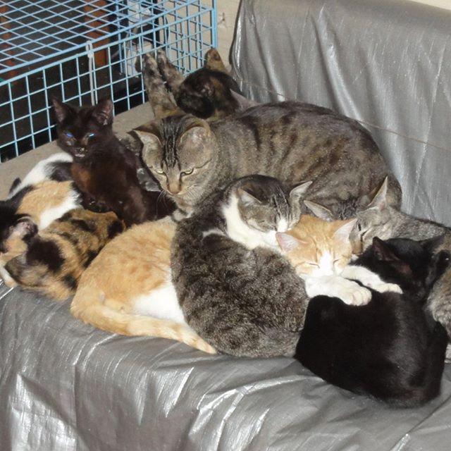 ねこ団子9兄弟(いとこ・甥・姪ふくむ)オーリオは耳しか見えてないよ! #こねこ部 #こねこ #kitty #ねこ部 #ニャンスタグラム #にゃんすたぐらむ #ねこ #ネコ #ネコ部  #ネコ好き  #ネコスタグラム  #ネコのいる生活 #にゃんこ #しまねこ #黒猫 #キジトラ #三毛猫 #茶トラ #サビ猫 #cat #catstagram #petstagram #instacat #meow #catoftheday #ilovemycat #catlove #고양이 #江田島