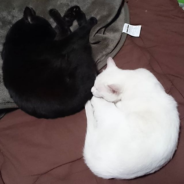 チームゴマ団子、執事のベッドの真ん中で爆睡中。執事は隙間でぼそぼそと横になるしかありません。ベッド返して! #ねこ部 #ニャンスタグラム #にゃんすたぐらむ #ねこ #ネコ #ネコ部  #ネコ好き  #ネコスタグラム  #ネコのいる生活 #にゃんこ #しまねこ #黒猫 #白猫 #cat #catstagram #petstagram #instacat #meow #catoftheday #ilovemycat #catlove #고양이 #고냥이 #냥이 #江田島