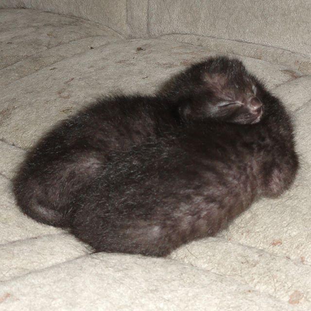 チーム完熟オリーブ7日目。モグラだと言われたら信じる人が結構いそう? #こねこ部 #こねこ #kitty #ねこ部 #ニャンスタグラム #にゃんすたぐらむ #ねこ #ネコ #ネコ部  #ネコ好き  #ネコスタグラム  #ネコのいる生活 #にゃんこ #しまねこ #黒猫 #cat #catstagram #petstagram #instacat #meow #catoftheday #ilovemycat #catlove #고양이 #고냥이 #냥이