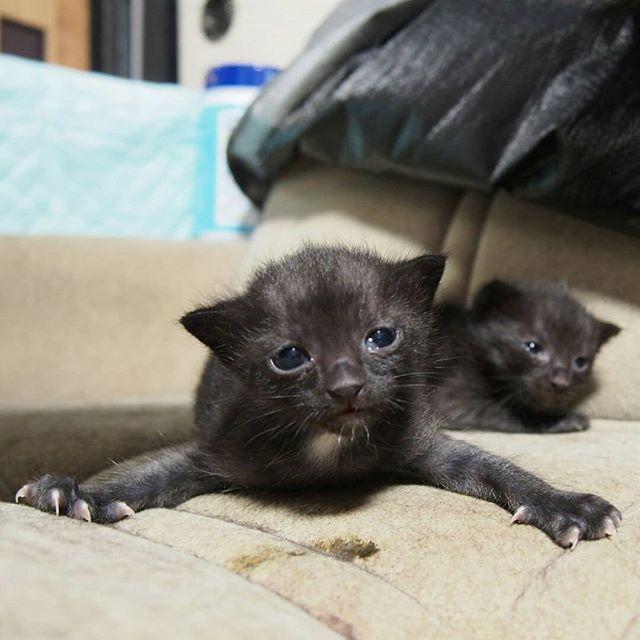 2匹とも目がぱっちり開いたよ!#こねこ部 #こねこ #kitty #ねこ部 #ニャンスタグラム #にゃんすたぐらむ #ねこ #ネコ #ネコ部  #ネコ好き  #ネコスタグラム  #ネコのいる生活 #にゃんこ #しまねこ #黒猫 #cat #catstagram #petstagram #instacat #meow #catoftheday #ilovemycat #catlove #고양이 #고냥이 #냥이