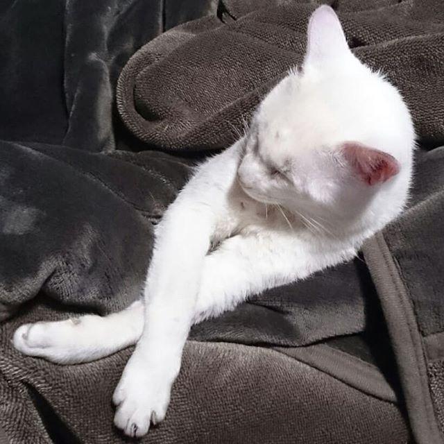 執事のブランケットにくるまって、足クロス寝&足投げ出し寝するアーリオ。リラックスしすぎじゃろ!(広島弁)#ねこ部 #ニャンスタグラム #にゃんすたぐらむ #ねこ #ネコ #ネコ部  #ネコ好き  #ネコスタグラム  #ネコのいる生活 #にゃんこ #しまねこ #白猫 #cat #catstagram #petstagram #instacat #meow #catoftheday #ilovemycat #catlove #고양이 #고냥이 #냥이