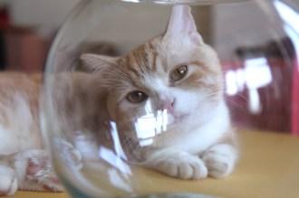 菊之助さん、金魚鉢を怪しむ1