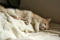 朝飯後の2度寝中。。。マンチカン菊之助