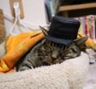 マンチカン力丸帽子をかぶってふみふみ