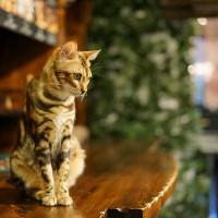 湯布院『チェシャ猫の森』ベンガル専門の猫カフェで躍動感を堪能