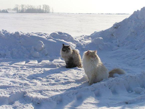 800px-Neva_masquarade_cats_in_snow