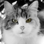 猫はなぜコレステロール値が高くても動脈硬化になりにくいのか