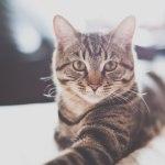 猫の特発性膀胱炎のアウトライン