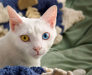 300px-June_odd-eyed-cat