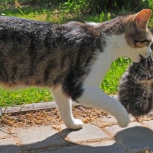 猫の宅急便?子猫を運ぶ猫がカワイイ!