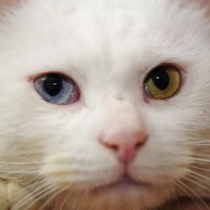 不思議な目の色、オッドアイの猫画像集!