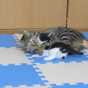 孫が可愛いのは人間もネコも一緒♪孫を溺愛するおばあちゃんトラネコ(*^_^*)