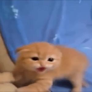 シャー!!子猫が威嚇する姿が可愛い♪威嚇しているのに可愛くしか見えない(●´ω`●)
