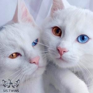 オッドアイを持つ双子の猫ちゃん!!神秘的な瞳に吸い込まれそう
