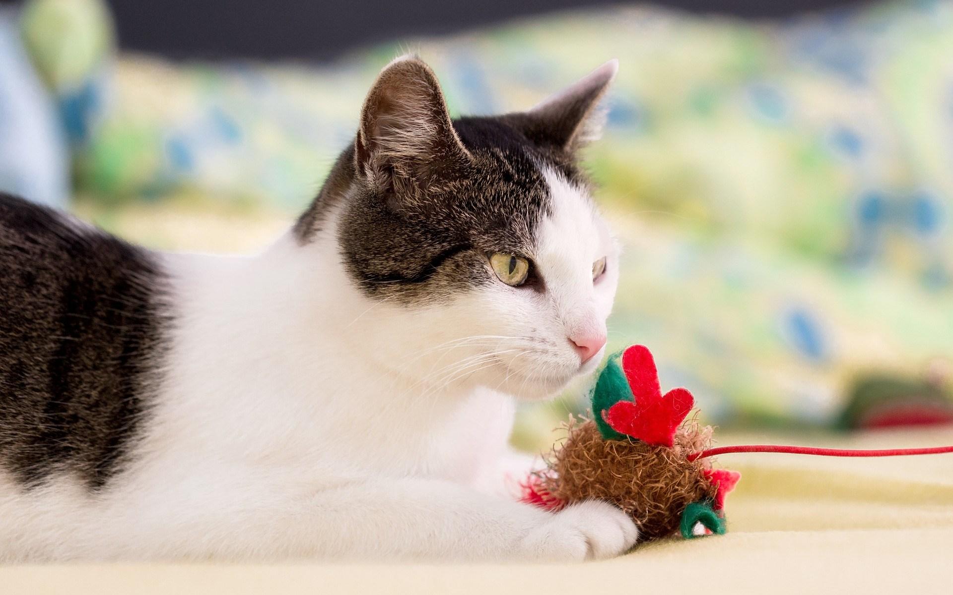 おもちゃを持つ猫