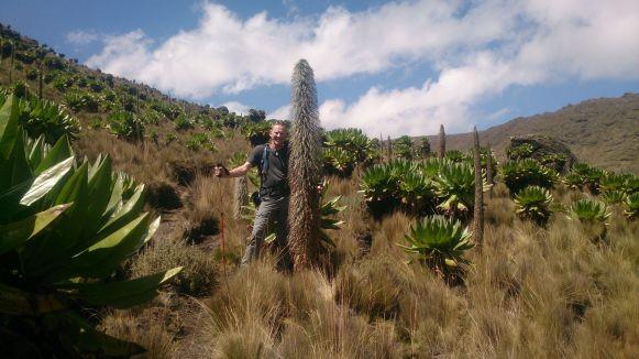 Die Lobelien im Liki Valley werden größer