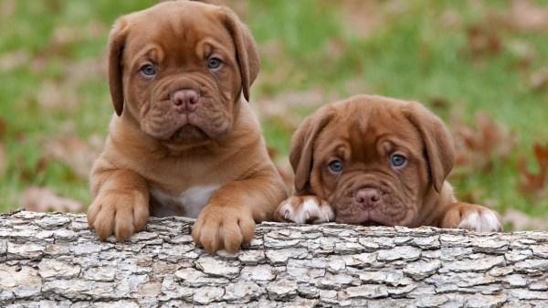 Порода собак бордоский дог - описание, характер ...