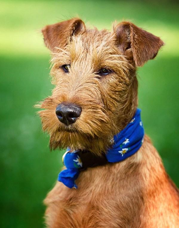 Порода собак ирландский терьер - описание, характер ...
