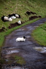 talisker bay sheep