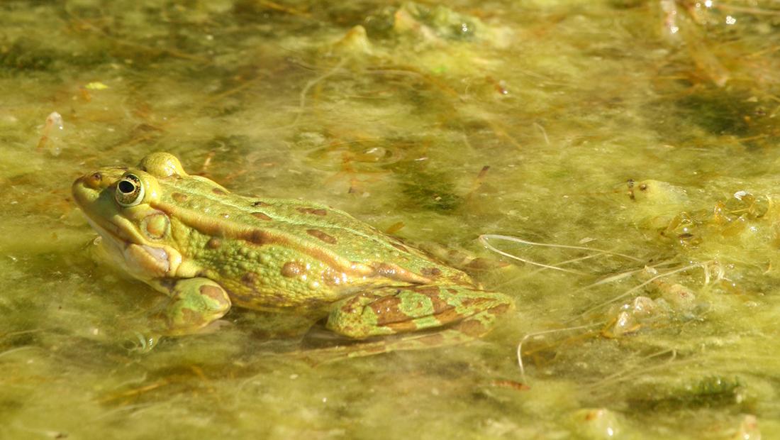 Foto von einem Wasserfrosch