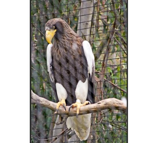 Foto von einem Adler im Zoo von San Diego, USA