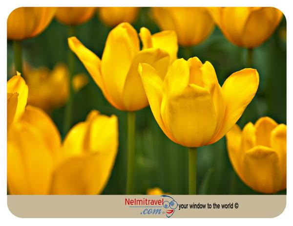 Tulips,Netherlands Tulips,Keukenhof,Flower Markets,Holland Tulips
