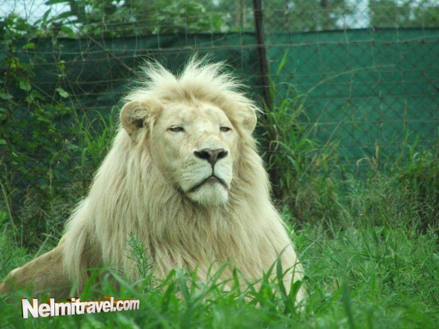 A beautiful and rare Albino Lion in South Africa