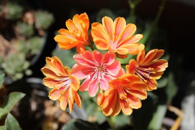 lewisia arancione