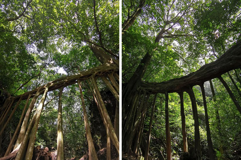Ficus tree bridge
