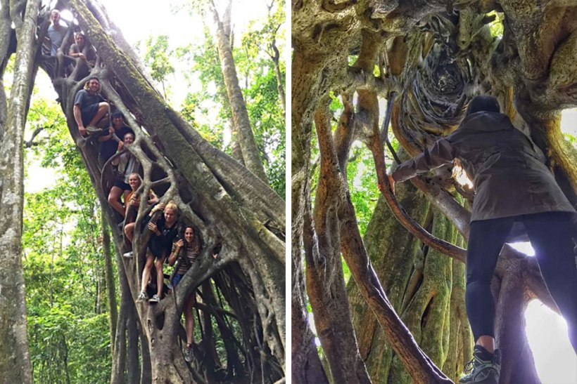 Ficus tree in Monteverde
