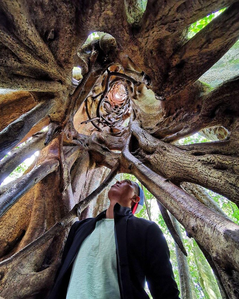 Ficus Tree, Monteverde
