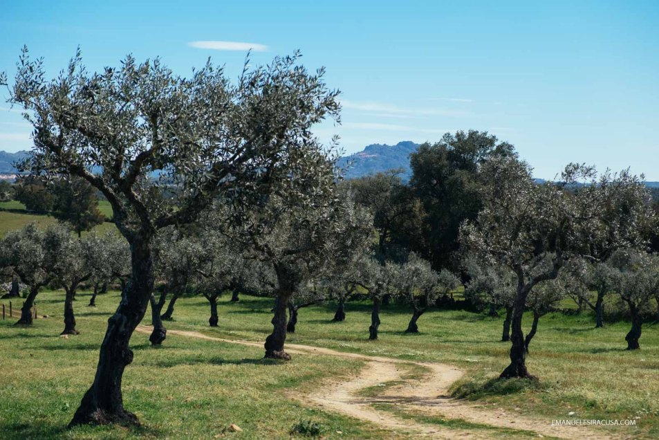 Olive trees with Monsanto's granitic island in the background, Proença a Velha, 2016