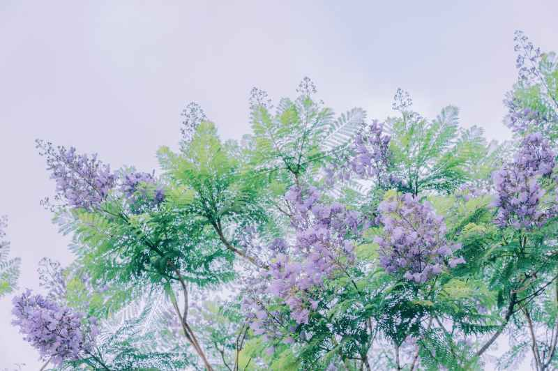 painting of purple crepe myrtle trees