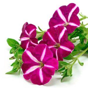 spring flowers nelson nursery Zimmerman MN
