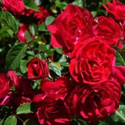 ROSES | NELSON NURSERY ZIMMERMAN, MN