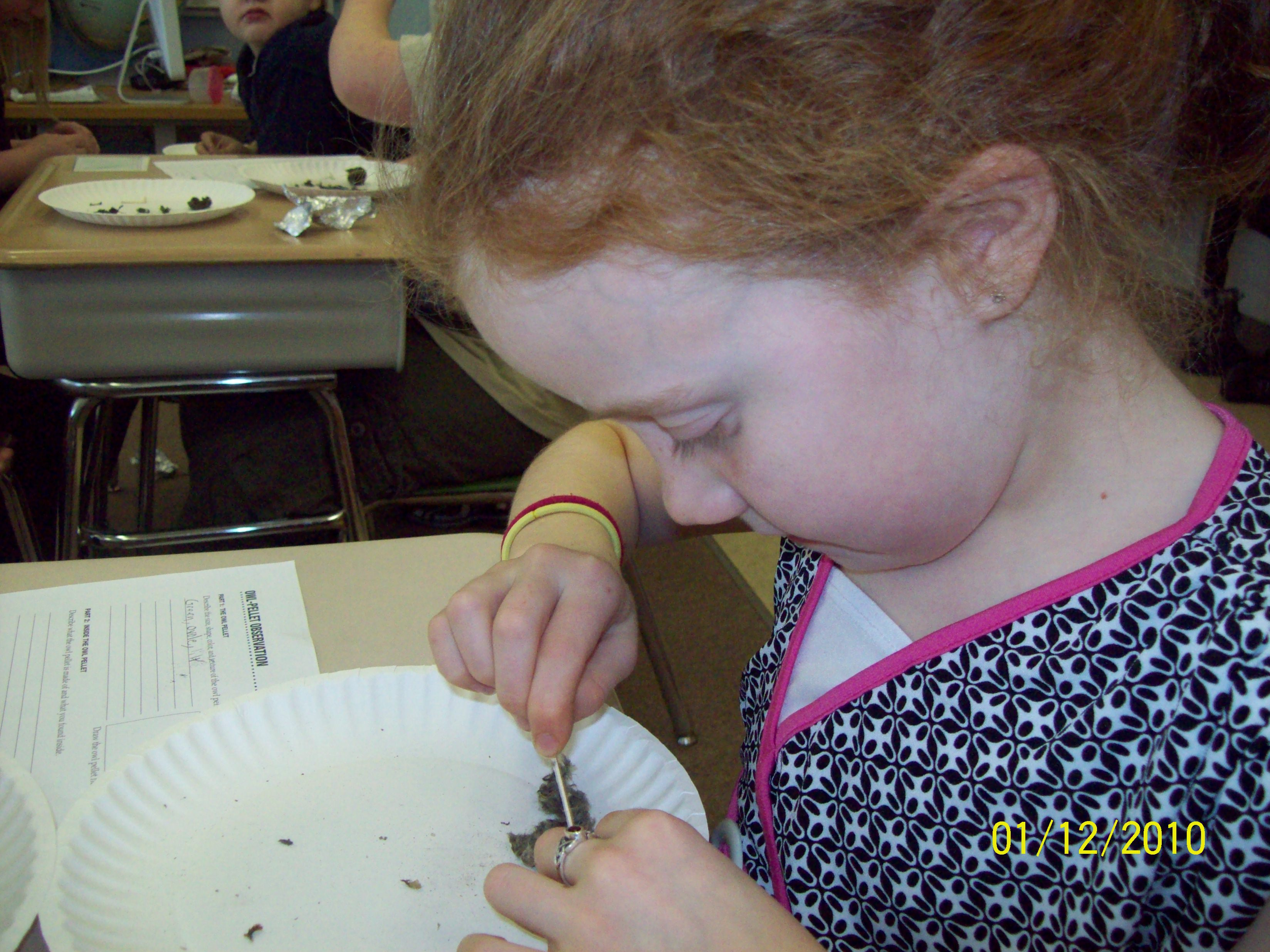 Owl Pellet Dissection Today Jan 12
