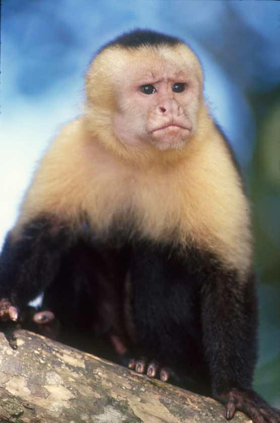 Costa Rica, Playa Manuel Antonio, Mono Capuchino