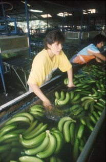 Costa Rica, meseta central, cosecha de plátanos