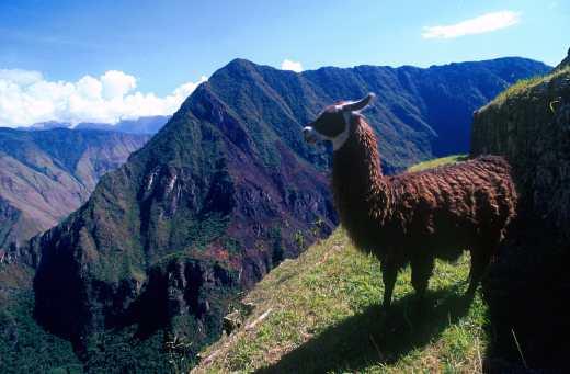 Perú, Alpaca