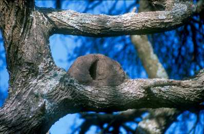 Uruguay, Montevideo, animal, Nido de Pájaro Hornero, árbol