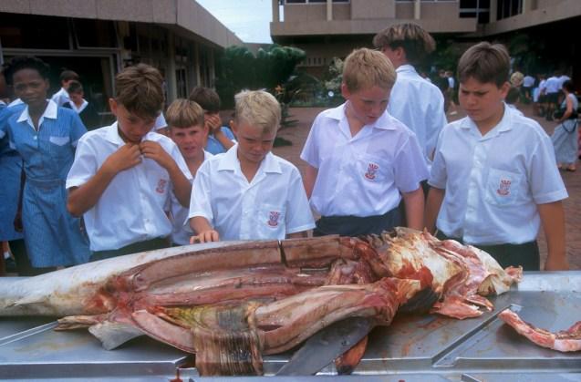 Sudáfrica, Natal, Durban, Shark Board, centro de estudio de los tiburones, disección de un tiburón, animal, retrato
