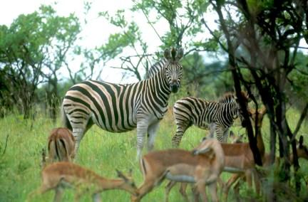Sudáfrica,a Parque Kruger, Cebras Impalas, animal